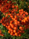 Pyracantha Orange Glow 2L 60-80cm